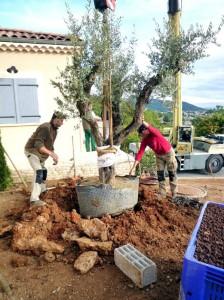 Transplantation d'un olivier